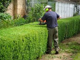 hedge trim 2